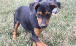 Meet Lilly! She is an black and tan Rottweiler female. She will fill your home with playfulness and love. She was born on May 29, 2016. She just can't wait to be part of a loving and caring family like yours. She is good around children and