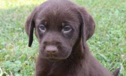 Howdy! I'm Lisa, the cheerful chocolate AKC Chocolate female Labrador Retriever! I was born on June 12, 2016!  I'll come vet checked, with my shots and worming to date. They are asking 650.00 for me.  Do you like to the beach or go swimming at a