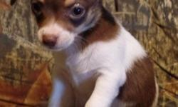 Little Male White & Chocolate Chihuahua puppy #M1 for sale $250 Cash Only I can't ship.No Paypal CASH ON PICK UP ONLY!! 8 weeks old Mom & Dad are CKC little Chihuahuas. Pup will be small, I have included a pic of the weight chart. Pup will come with CKC