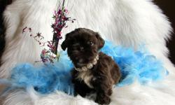 Shih Tzu male Chewbacca, liver color, very hard to come by. Awesome pup, wonderful devoted family member he will be. Please view my website for other puppies in this litter. and visit my facebook page and like