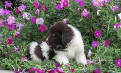 Howdy Ya'll! I'm Lizzy, the affectionate, brown and white female AKC Newfoundland! I was born on June 6, 2016! I'll come with shots and worming to date. I love to take walks, play fetch, having my belly rubbed and being told I am a good