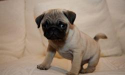 * * * LLOvely Male Pug Puppies For YOU. His Name is Caleb He Is very Freindly and Playful. CONTACT (313) 723-5160 FOR MORE INFO AND PICS