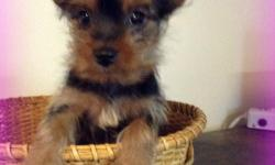 Ever wanted to cheer you kids with something special? Well then, you've found what your looking for! Hi, I'm Lola! The sincerest female AKC Yorkie! I'm so cute, you can't resist! I was born on February 27th,2014 from a 5lb mom and 2.6lb dad. People really