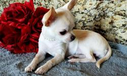 Welcome to our Family   Summer Special Reduced Home of the Tiny Chihuahuas We are a Family with Hobby and Passion in loving Raising Pure Breed Tiny Pocket Pets. Our Breeding is carefully planned to produce a puppy of high Quality, Health, Temperament