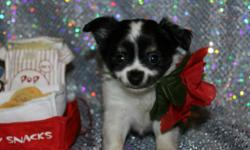 He has a wonderful personality, current on his puppy shots, beautiful fancy coat, parents on sight, great portable size, puppy pleaser, comes highly recommended by my vet. What more do you want. You got a great healthy puppy with perfect size. call