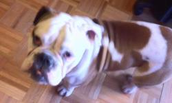 I have a young, active, energetic, lively Male English Bulldog. He is a pedigree dog and his parents are championship dogs. I am looking to find him a Pure Breed Female English Bulldog as a girlfriend for my dog. Please contact John David at 786-227-2667