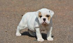 English Bulldog puppies with buttery fawn and white coat. They are absolutely gorgeous. Very smart puppies and a fast learners. They have lots of wrinkles. They are interested in everything and very outgoing call me for appointment :::303)569-9319