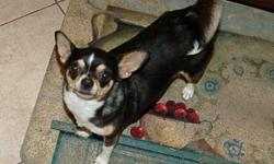 Heart broken, lost adult female smooth coat Chihuahua. She is black & tan w/ white markings. She was last seen on 7/21/12 in Nipoma CA. Zoey is a little over 6lbs and has a curly tail. She is reserved with stangers. We regret to say she is not