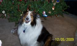 Medium sized Sheltie long brown and white coat. Lost in the area of E New York St and Gray St. Monday april 11th in the morning