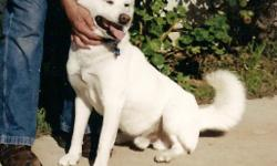 JinDo- Male, Lost my doggy of 14 years. Has ID Chip, White, Tan Ears, Curly Tail, Looks Like Smiling. Has lump inside one rear knee, most teeth broken(from chewing on metal fences). Lost from Dads ranch @ 17171 I.H. 35 S.,Atascosa, Texas,(South of San