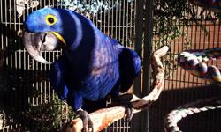 It's with great regret that I will need to sell my Hyacinth female macaw, she is very funny and specks quite a few words, loves to be stroked and love lots of attention. Due to going into fostering children with special needs such as autism we need to re