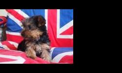 lovely little Yorkshire terrier puppy for sale, nearly 12 weeks old, black and tan, lovely fluffy coat great with children.America kennel club registered. change of circumstances force sale