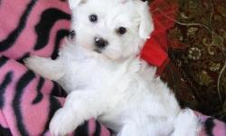 Lovely Males And Females Teacup Maltese Puppies. We Beautiful t-cup Maltese Puppies. Solids, Sables, and Parti Colors. These puppies are very proud, lively little dogs. Intelligent, eager to learn and very loyal to their families. They come with their