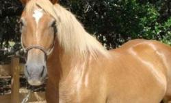 Skills Disciplines Breeding, Draft, Dressage, Eventing, Trail, Trail Riding Additional Comments Maddie is an 15yr old, 15.1 1 2hh Draft Cross x Haflinger mare with MAJOR STAR POWER She is an absolute knock out in the ring with success in Dressage, Western