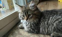 2 female Maine coon babies avaliable. One long hair one short. Up to date on shots, dewormed, health certificate from our Vet, registration papers after proof of spay /nueter, 1st month preventive flea treatment. Email or text 3317256197 for more