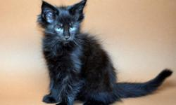 CFA Registered Maine Coon Kittens.3-males and 3-females.Born on May 26,2014.Veterinarian checked,shots and have health guarantee.2-Torties,1-Creme male,1-Black male,1-Blue male and a female Tuxedo.