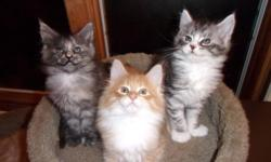 Maine coon kittens - ready to go Very friendly, active, social with people & other animals, a written health guarantee & written contract, no shipping -pick up only. For more photos & details please visit us at www.coonomagic.com or call 516 578-7828