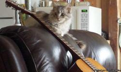 CFA Maine Coon kitten, female pick of the litter, wormed, 5 months old, $750 with papers/$300 without. CFA reg 2 year old Maine Coon male, Silver Tabby, 20 pounds, neutered $400; CFA reg. 2 year old Maine Coon female breeder, Tortoise Shell, $750