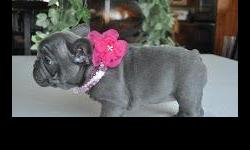 Male and female ajaja french-bulldog-puppies-for sale.,,Contact Us Directly Via Text Only At 267-579-2901 or 267-579-2901