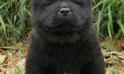 Male and female Chow chow puppies readyregisterable, Current vaccinations, Veterinarian examination, Health certificate, Health guarantee, Travel crate My puppies are all up to date on vaccinations and worming, and come with a one year guarantee.