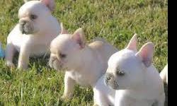 french bull dog puppies for sale u can call or text through this non 779 529 0100