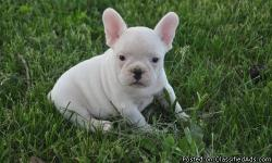 Male and female French Bulldog puppies available with great conformation and health. Do not settle yourself for anything else than a High Quality French Bulldog. Our puppies have great temperament and unique colors and markings. We give our puppies all