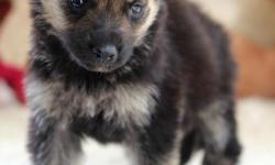 Male and Female German Shepherd Pups Available now ()- These puppies have taken all their vaccinations and will come with all necessary documents. They are also well trained. They are seeking approval by any lovely home hit me via? ()-