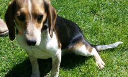 8 months old male beagle