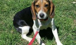 8 month male beagle.