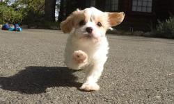 """Come and see """"Marco"""" our super cute male CavaChon puppy! He has the cutest personality! * Cavalier King Charles Spaniel x Bichno Frise * 10 weeks old * Health Guarantee * Current Vaccination Record * 9-13 lbs Full Grown * Vet Checked * Clean Bill of"""