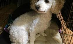 7 month old french poodle for sale! Very sweet and playful, gets along really well with other dogs! Call 806-324-7866