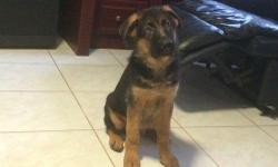hi to everyone i am selling my 12 weeks old German shepherd puppy.he has good temperament and has been raised among children and other pets so anyone buying him wouldn't worry alot about taring because he is quick to learn.just get to me if interested