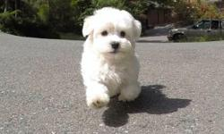 """Come check out """"Mario"""", our precious male MaltiPoo puppy! # Maltese x Toy Poodle # Adult weight 5-8lbs # 9 weeks and ready to go home! # One Year Congenital Health Guarantee # Vet checked # Clean Bill of Health # Current on Vaccines # Potty Training kit"""