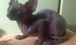 Male Sphynx Kitten For Sale,Contact by text only to: (240) 317-9071 for more inquires home-bred kittens, Chose this stunning to breed myself but have stopped breeding before I have even tried to mate She has no problems a very good House-cat very