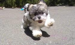 """""""Kelso"""" is a super sweet male Teddy Bear puppy! His personality will melt your heart! * Maltese x Shih-Tzu * 9 weeks old * Health Guarantee * Current Vaccination Record * 8-12 lbs Full Grown * Vet Checked * Clean Bill of Health * Microchip (optional) *"""