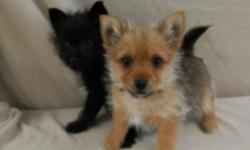I have these two playful Yorkie-Pom puppies!  (Yorkie/Pomeranian)  They were born 1-1-15 and are current on shots and dewormings.  They are so sweet and ready for their new homes!  $450, cash  If interested in one of these sweet