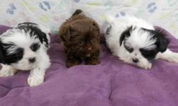 I have these two very sweet, lovable, and playful male Yorkie-Zu puppies!  (Yorkie/Shih-Tzu)  In the pic of three they are the first two.  They were born 12-31-14 and are current on shots and dewormings.  They are so adorable and