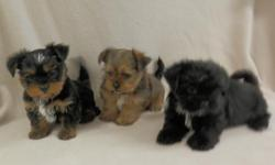 These are two very sweet, lovable, and playful Yorkie-Zu Puppies! (Yorkie/Shih-Tzu)  They were born 3-10-15 and are current on shots and dewormings.  The first pup in the pic of three has been sold.  I listed the pups available individually