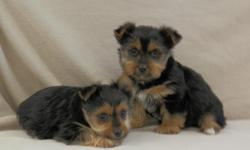 He is a very sweet, lovable, and playful Yorkie puppy!  He is the smaller puppy in the pic, female has been sold.  He was born 1-9-15 and is current on shots and dewormings.  His mom weighs 8 pounds and dad weighs 7 pounds.  He is