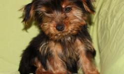 This little sweetie is full blood Yorkshire Terrier. Based on the weight of his parents, his approx. adult weight should be 6-7 lbs. Dob 7/1/14. He is being sold as pet only, no registration papers. (He is full blood Yorkshire Terrier) He is