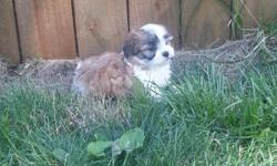 8 weeks old malshi puppies(shih tzu/maltese) up to date on shots and worming, very social, vet checked