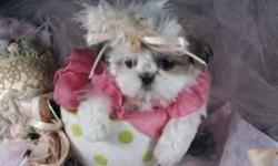ADORABLE, *NONSHED*, BABYDOLL FACES, POTTY PAD TRAINED, SMART SWEET AND LOVING FAMILY COMPANIONS. GREAT WITH KIDS. 9 WEEKS OLD. FEMALE> 495.00. GET THE BEST OF BOTH WORLDS WITH THESE FLUFFY DESIGNER PUPS. FIRST SHOT, WORMED, WRITTEN HEALTH GUAR. SOME ARE