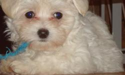 Beautiful Hypoallerginic and shed free!! She is so fluffy. A very sweet sweet girl, ready for her forever family. We have done the hard part - she is crate trained an puppy pad trained too -- now all she needs is her family to love. She gets along great
