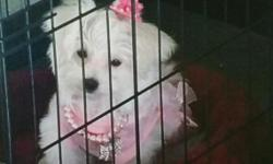 Maltese female 8 months old, has everything; papers, cage, grooming & cleaning supplies, etc. Selling because moving out of state to an apartment where no pets are allowed. Fun loving and great with children.