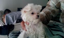 Beautiful pure breed Maltese pup papered ckc with shots and deworming 9.5 Weeks old . I have the parents here for you to see. He will be approx. 5. Lbs. When full grown beautiful baby pup at a great price. Call 661_433_6767
