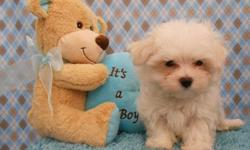 2 Maltese Males ready now for a new home! Born May 28th, 2014. Beautiful boys. Mom is 4 lbs and dad is 6 lbs. They are fully vaccinated and dewormed. They come with a health warranty and a take home bag to get you started. $1500.00 Call or Text Sara (210)