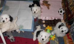 8 week old puppies.1/2maltese,1/4 havanese,1/4 bichon..awesome .they are pee pad trained with 95% compliance.have shots and vet ck.health guarantee.kitchen raised and pre spoiled.non-shed.will be 7-10lbs range.come w/food,blanket and toy.and follow up