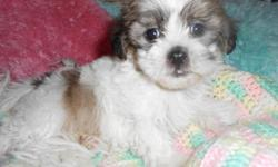MORKIE PUPPIES AND PUREBRED MALTESE PUPPIES, 10 WEEKS OLD, VERY LOVING AND HAPPY BABIES. HYPOALLERGENIC AND NON SHEDDING. POTTY TRAINING STARTED. GREAT FOR KIDS AND FAMILIES WITH OTHER PETS. MALES ARE $350 OR $400 EACH DEPENDING ON WHICH ONE AND FEMALES