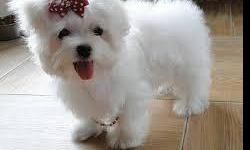 I have male and female Maltese puppies available.They are very beautiful, 12 weeks old, will be 7-8 pounds full grown.The puppies are friendly and like to be with children and other dogs.