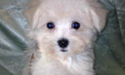Male  and  female  Maltese  Puppies  for sale. They are  up to date with all Vaccines and Have  ACA  Papers and all Vet